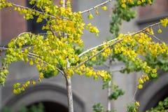Árbol de abedul en un parque Fotos de archivo
