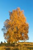 Árbol de abedul en una colina en el otoño Imágenes de archivo libres de regalías