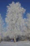 Árbol de abedul en una helada en un fondo del cielo azul Imágenes de archivo libres de regalías
