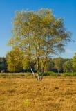 Árbol de abedul en verano, Países Bajos Imagen de archivo
