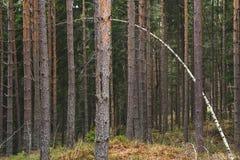 Árbol de abedul fino que dobla encima y que se coloca hacia fuera en un bosque de pinos viejos imágenes de archivo libres de regalías
