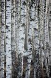 Árbol de abedul Forest At Spring, primer vertical detallado grande del fondo Imagenes de archivo