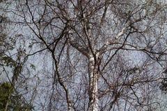 Árbol de abedul grande Fotos de archivo