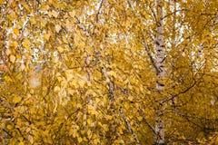 Árbol de abedul grande con las porciones de hojas amarillo-de oro del otoño Imagen de archivo libre de regalías