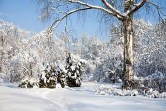 Árbol de abedul grande con las ramas nevadas, paisaje hermoso del bosque del invierno, día soleado frío de enero Cielo azul foto de archivo libre de regalías