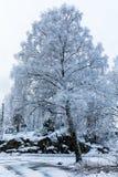 Árbol de abedul grande cubierto en nieve Día de invierno hermoso en Odderoya en Kristiansand, Noruega Foto de archivo libre de regalías