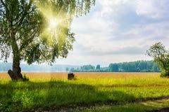 Árbol de abedul grande hermoso en un prado con los haces soleados Foto de archivo