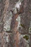 Árbol de abedul grueso de la corteza Fotografía de archivo