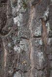 Árbol de abedul grueso de la corteza, fondo Fotografía de archivo