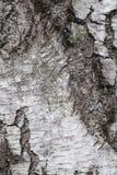 Árbol de abedul grueso de la corteza, fondo, cierre para arriba Imagen de archivo libre de regalías