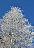 Árbol de abedul helado, cielo azul Imágenes de archivo libres de regalías