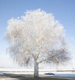 Árbol de abedul helado en enero Imágenes de archivo libres de regalías