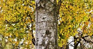 Árbol de abedul hermoso Foto de archivo libre de regalías