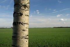 Árbol de abedul hermoso Foto de archivo