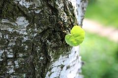 Árbol de abedul hermoso con la corteza de abedul blanco con la hoja verde del abedul en comienzo del verano Fotografía de archivo libre de regalías