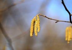 Árbol de abedul hermoso de los pendientes Foto de archivo