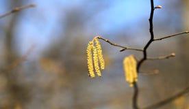 Árbol de abedul hermoso de los pendientes Fotos de archivo
