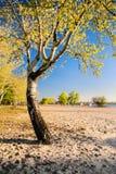 Árbol de abedul hermoso en los rayos de oro del sol naciente en la playa III Foto de archivo libre de regalías