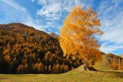 Árbol de abedul hermoso en valle alpino Imagen de archivo libre de regalías