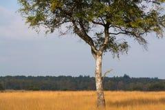 Árbol de abedul hermoso solo del otoño Autumn Landscape Foto de archivo libre de regalías