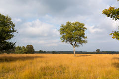 Árbol de abedul hermoso solo del otoño Autumn Landscape Fotos de archivo libres de regalías