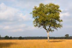 Árbol de abedul hermoso solo del otoño Autumn Landscape Fotos de archivo