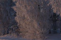 Árbol de abedul iluminado por el sol Fotos de archivo libres de regalías