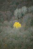 Árbol de abedul independiente Fotografía de archivo libre de regalías