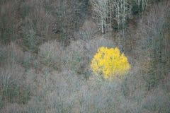 Árbol de abedul independiente Foto de archivo