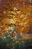 Árbol de abedul joven Fotografía de archivo libre de regalías