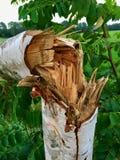Árbol de abedul joven dañado después de una tormenta pesada Imagen de archivo libre de regalías