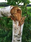 Árbol de abedul joven dañado después de una tormenta pesada Imágenes de archivo libres de regalías