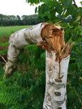 Árbol de abedul joven dañado después de una tormenta pesada Imagenes de archivo