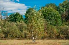 Árbol de abedul joven en el fondo del bosque Fotografía de archivo libre de regalías