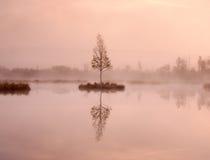 Árbol de abedul joven en la isla en el centro del lago del pantano Mañana púrpura con agua pacífica Fotos de archivo libres de regalías