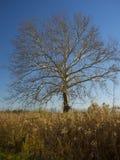 Árbol de abedul de la caída sin las hojas en un campo de la hierba alta Imágenes de archivo libres de regalías