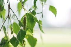 Árbol de abedul mojado de la rama durante la lluvia en un background_ borroso Fotografía de archivo libre de regalías