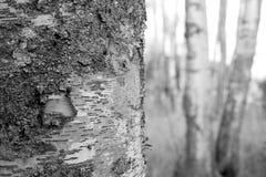 Árbol de abedul monocromático Fotografía de archivo libre de regalías
