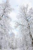 Árbol de abedul Nevado Imagen de archivo libre de regalías