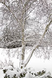 Árbol de abedul nevado Fotos de archivo libres de regalías