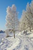 Árbol de abedul Nevado Fotografía de archivo