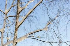 Árbol de abedul nevado Fotos de archivo