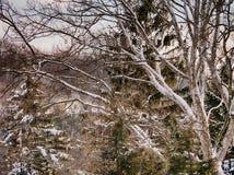 Árbol de abedul nevado en bosque Imagen de archivo libre de regalías