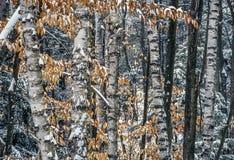 Árbol de abedul de papel Fotos de archivo libres de regalías