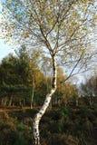 Árbol de abedul de plata/Betula Pendula que brilla intensamente en la luz Skipwith Yorkshire del este común Inglaterra de la tard Imagen de archivo libre de regalías