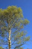 Árbol de abedul de plata que entra en la hoja en primavera Imagen de archivo libre de regalías