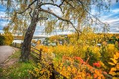 Árbol de abedul de Plyos con las ramas amarillas Imagen de archivo libre de regalías