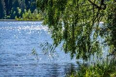 árbol de abedul por el lago Fotografía de archivo libre de regalías