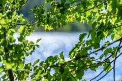 árbol de abedul por el lago Fotos de archivo