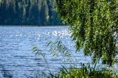 árbol de abedul por el lago Fotos de archivo libres de regalías
